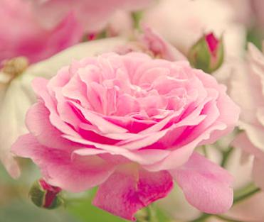 rose-eau-de-rose